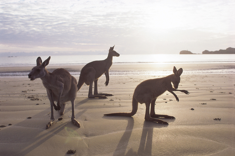 Australien, Cairns, Kängurus